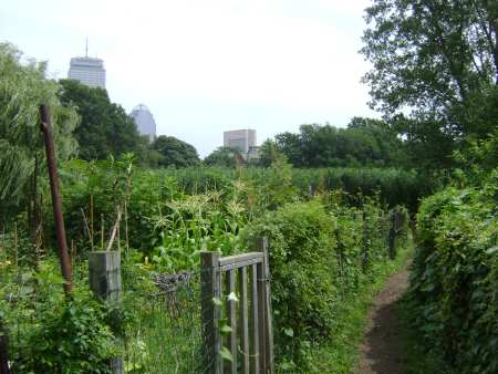 Boston's Fenway Victory Garden is one of the last remaining victory gardens in the nation.